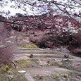 3/31山桜満開